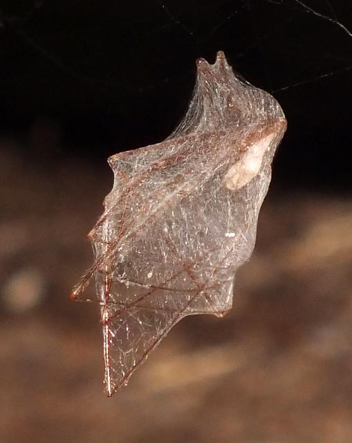 Skull spider (Pholcus phalangioides) web cocooned by a skull spider (Pholcus phalangioides)