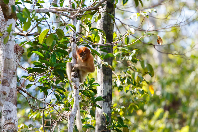 Longnose Monkey in Borneo