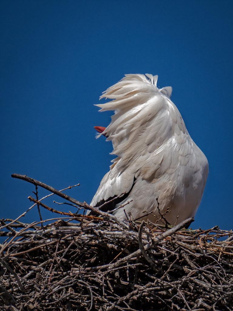 Du vent dans les plumes... 49724699941_74cc202bb1_b