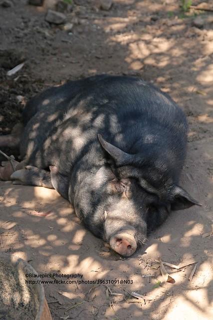 Ban Thung Luang, lazy pig