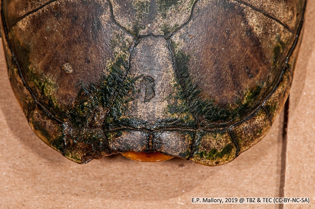 2020-03-22 TEC-0370 Tabasco Mud Turtle (Kinosternon acutum) - E.P. Mallory