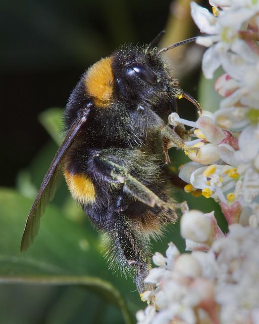 Bumble Bee on Skimmia