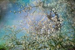 Cerisier printanier