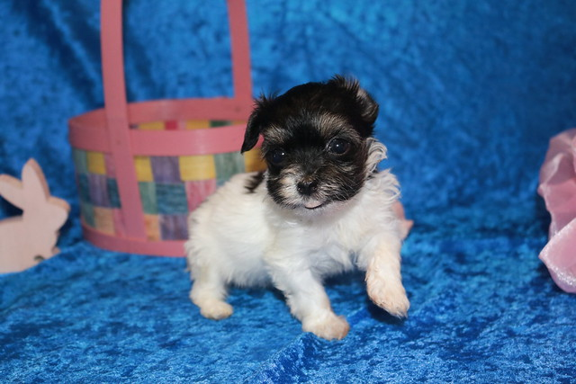 1 Pancake Female CKC Havanese 15 oz 5W1D Old (27)