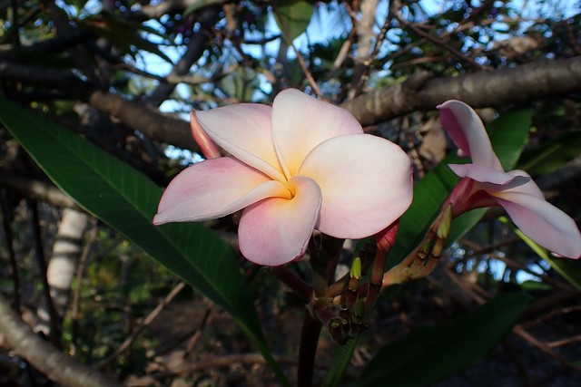plumeria blossom in the morning light