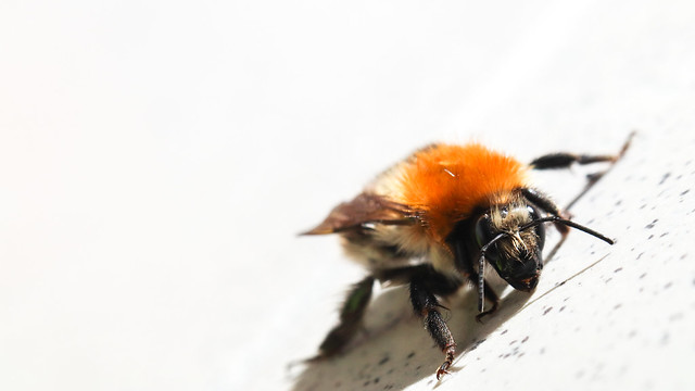 Recovering bee
