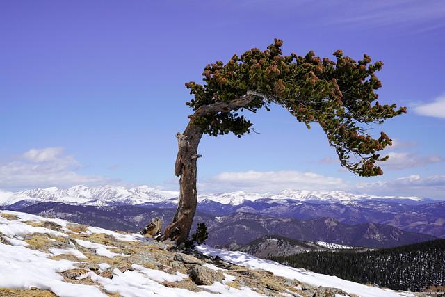 Bristlecone Pine - Rocky Mountains