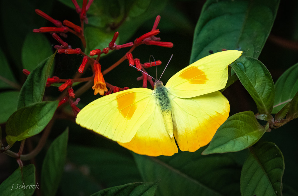 Orange-barred Sulphur butterfly...