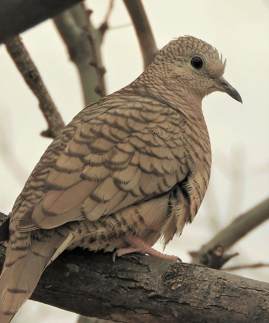 Inca Dove at San Pedro House