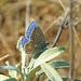 Common Blue (Polyommatus icarus), Kamenjak, Croatia