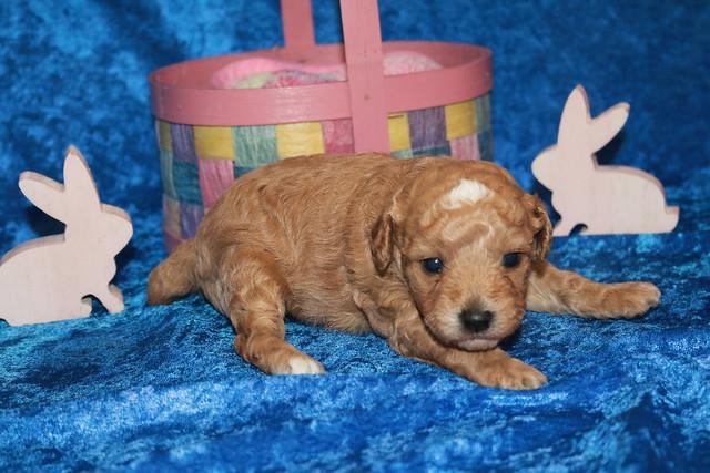 1 Charlie (Toby) Male CKC Mini Labradoodle 1 lb 9.8 oz 2W5D Old (3)