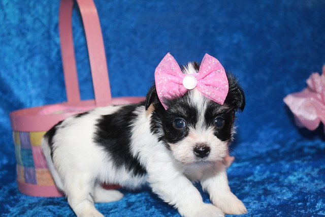 1 Waffles Female CKC Havanese 1 lb 9 oz 5W1D Old (3)