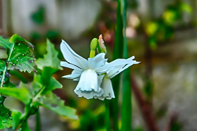 White Daffodil HDR