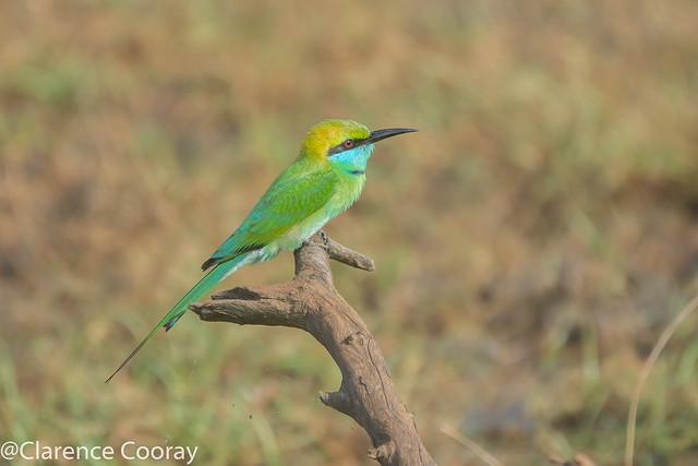 DSC_6806 (Little Green Bee-eater)