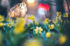 Yellow | Spring 2020 | Kaunas #92/365