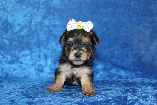 1 Luna Female CKC Morkie 1lb 5.2oz 4W2D old (40)