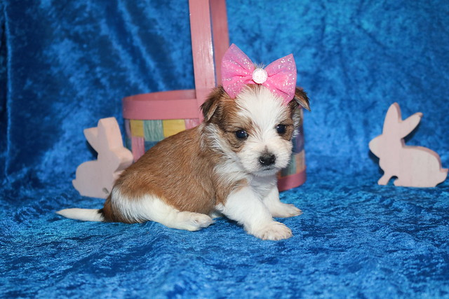 1 Myka Female CKC Morkie 1 lb 5.3 oz  4W2D Old (9)
