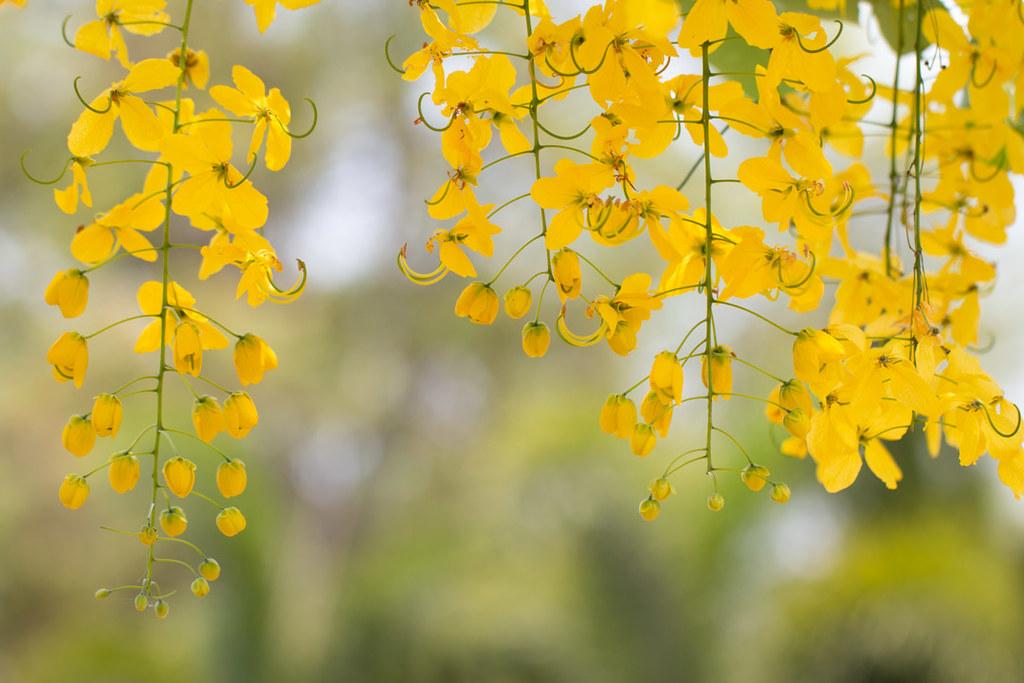 Кассия Таиланд желтые цветы