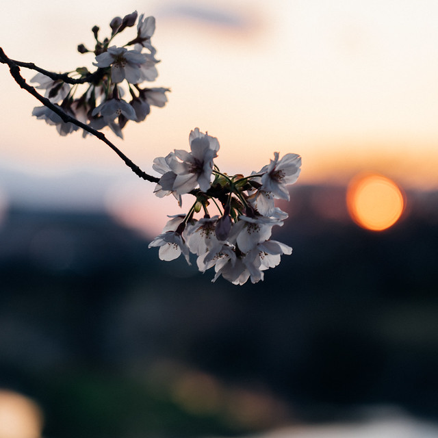 CherryBlossoms4_05
