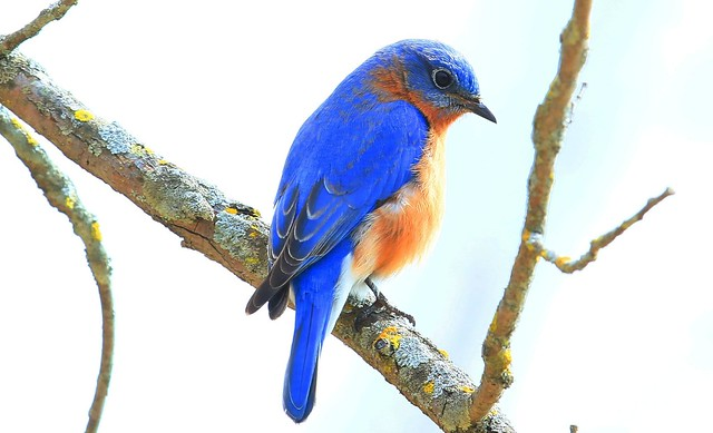 eastern bluebird male at Lake Meyer Park IA 653A1981