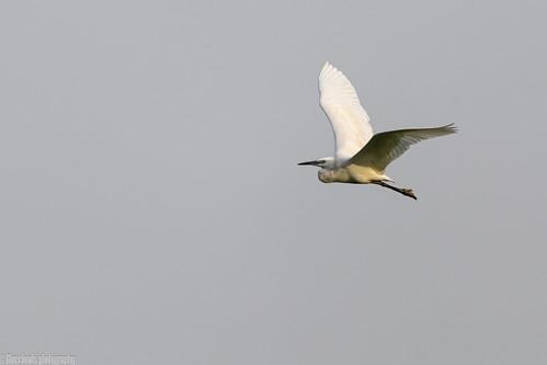 egrets cattle birds unilag lagos nikon d850 500pf f56