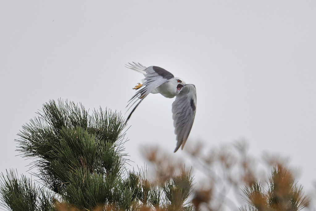 Black-shouldered Kite: Now I'm Good and Mad!