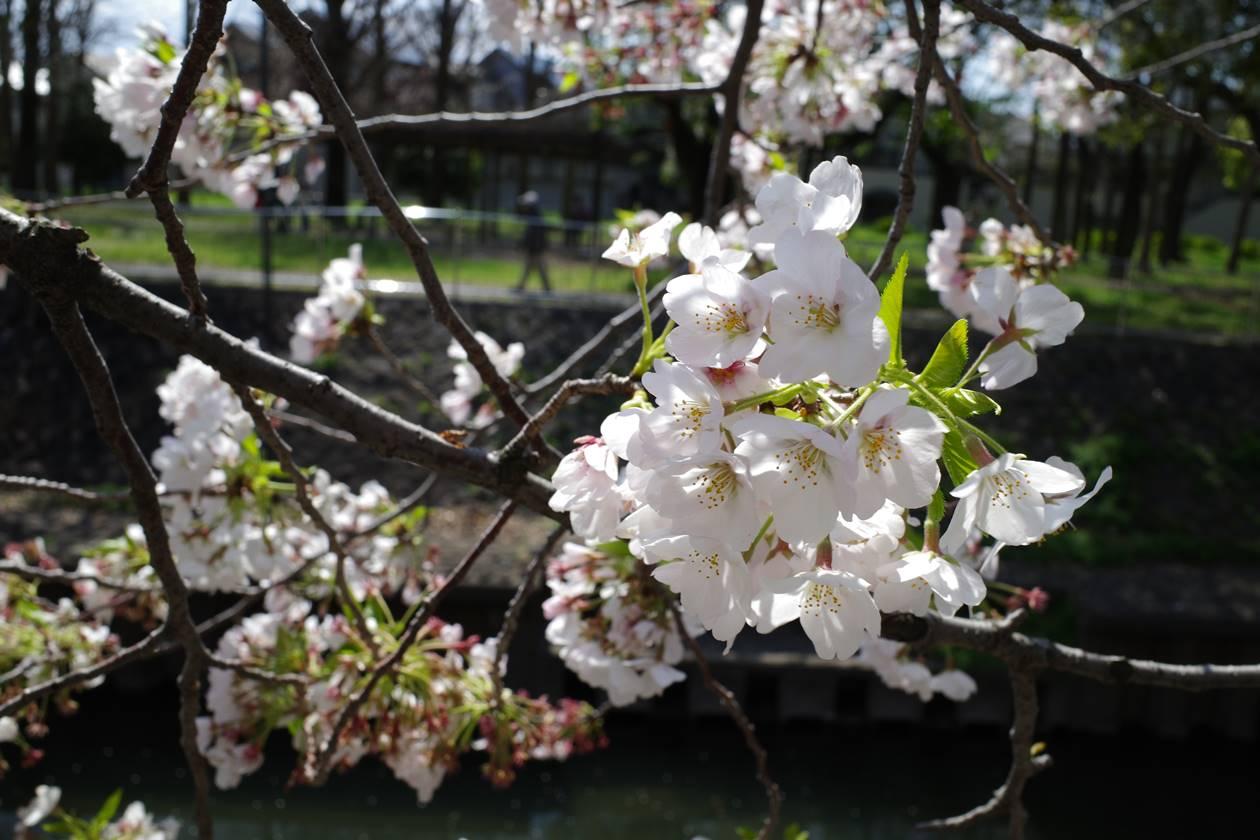 善福寺川公園の桜
