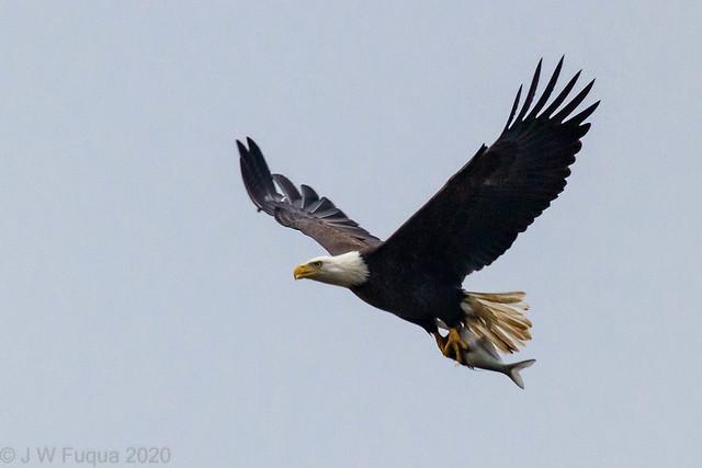 Bald Eagle 10-25-2012