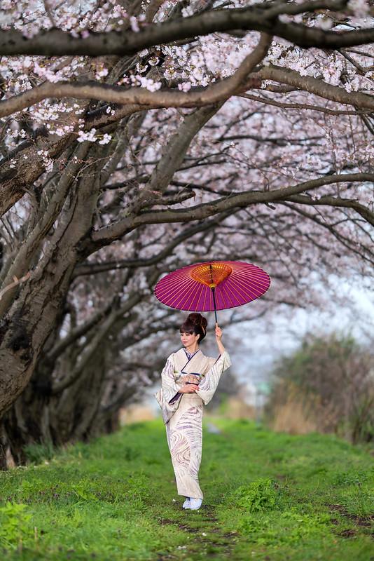 A rainy cherry blossom road