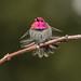 Anna's Hummingbird (M)-2474