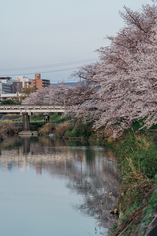 CherryBlossoms4_03