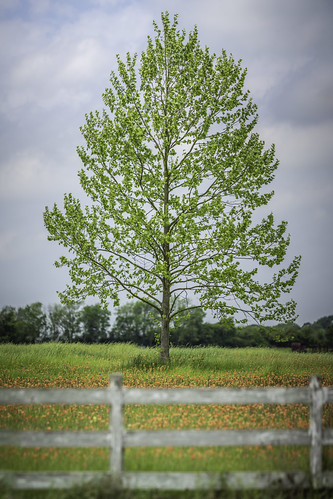 maple texas usa washingtoncounty chappellhill fence image ladscape landscape lonetree photo photograph tree wildflowers f28 mabrycampbell march 2020 march262020 20200326campbellh6a6138pano 200mm ¹⁄₁₆₀₀sec iso100 ef200mmf28liiusm fav10