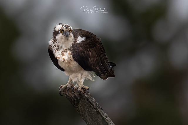 Osprey of the Jersey Shore | 2020 - 8