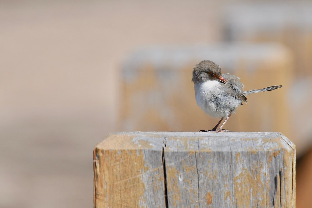 Superb Fairy-wren ( Female )