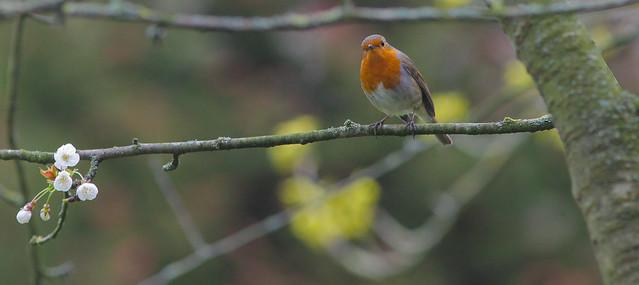 Spring Robin...2020