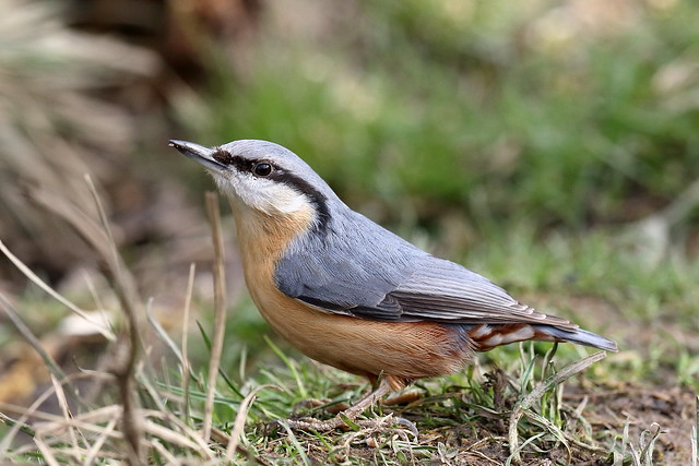 From the Archives:- Euarsian Nuthatch (Sitta europaea)
