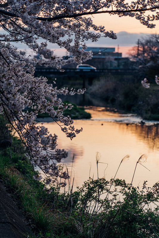 CherryBlossoms4_04