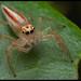 Telamonia dimidiata - Photo (c) Giridhar,  זכויות יוצרים חלקיות (CC BY-NC-ND)