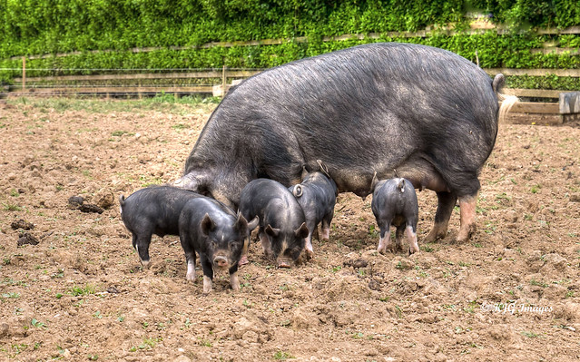 Berkshire Sow and Piglets