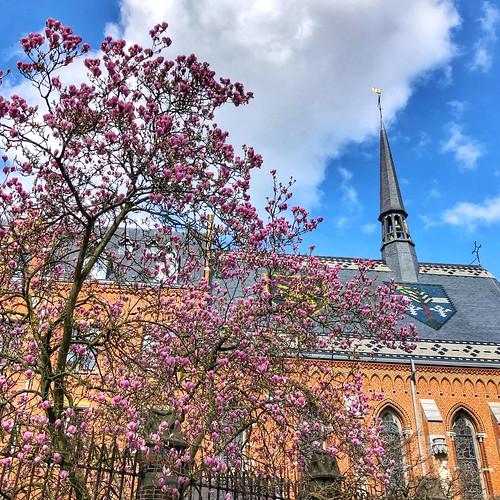 Magnolia-pracht in Leuven (21/03/2020)