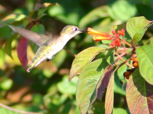 Ruby-throated Hummingbird 01-20200402