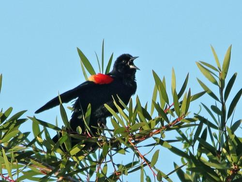 Red-winged Blackbird 20200402