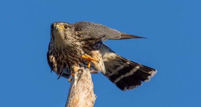 Merlin (Faucon émerillon)