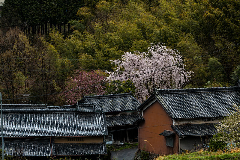 House with a cherry blossom