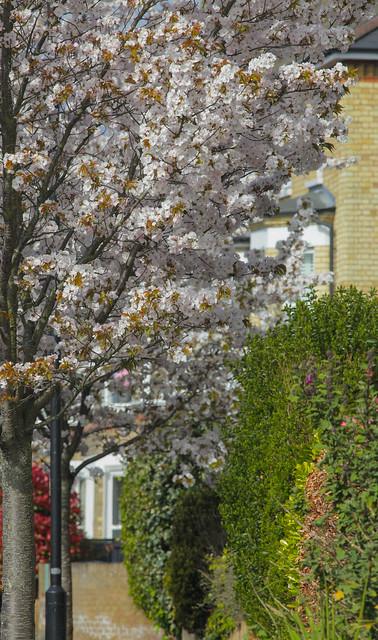Streets of Blossom @ SE22