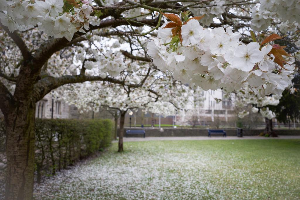 Maidstone Tree Blossom