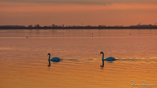 The swans also keep their distance