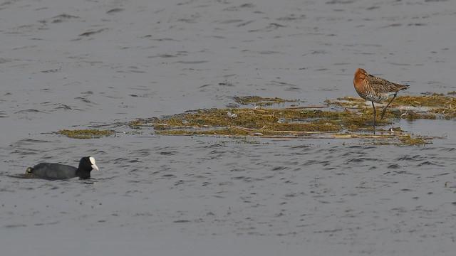 Stor Kobbersneppe, Black-tailed godwit, Uferschnepfe (Limosa limosa)-2774