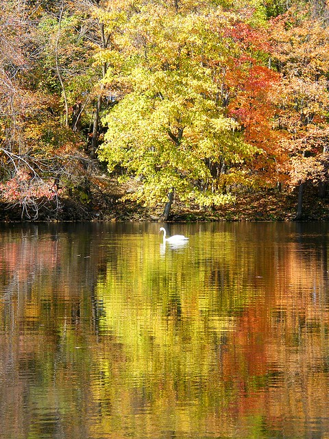 Lonely Fall Swan