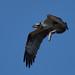 Fischadler (Pandion haliaetus), Osprey